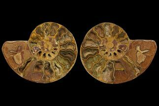 "Buy 8.7"" Cut & Polished Ammonite Fossil (Pair) - Jurassic - #172447"