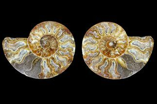 Cleoniceras sp. - Fossils For Sale - #166755