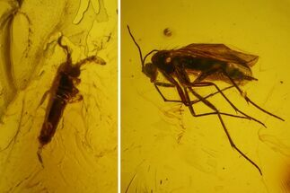Buy Fossil Springtail (Collembola) & Fly (Diptera) In Baltic Amber - #173638