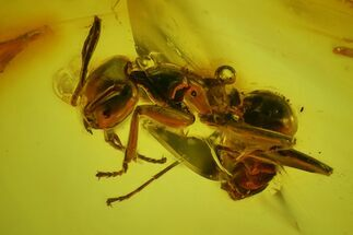 Buy Detailed Fossil Ant (Formicidae) & Fly (Diptera) in Baltic Amber - #173686