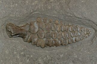 "11.3"" Fossil Ichthyosaur Paddle - Posidonia Shale, Germany For Sale, #174932"