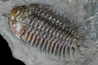 "1.65"" Colorful, Crotalocephalus Trilobite - Jorf, Morocco For Sale, #175061"