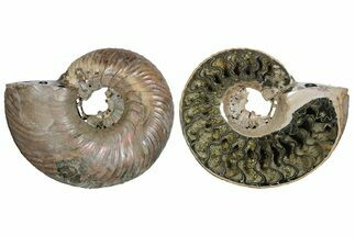 "Buy 2.65"" One Side Polished, Pyritized Fossil Ammonite - Russia - #174997"