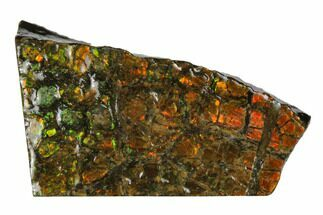"1.5"" Iridescent Ammolite (Fossil Ammonite Shell) - Alberta, Canada For Sale, #175109"