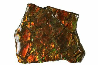 "1.7"" Iridescent Ammolite (Fossil Ammonite Shell) - Alberta, Canada For Sale, #175172"
