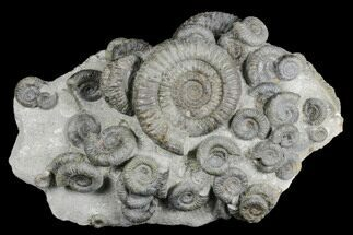 "Buy 8.2"" Fossil Ammonite (Dactylioceras) Cluster - Sandsend, England - #176299"