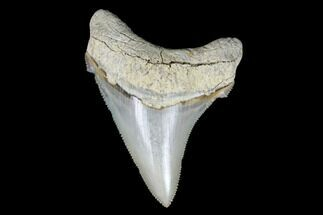 "Killer, 2.89"" Fossil Chubutensis Tooth - Aurora, North Carolina For Sale, #176588"