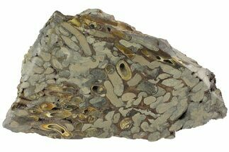 "4.6"" Polished Fossil Teredo (Shipworm Bored) Wood - England For Sale, #177071"