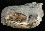 "2.6"" Iridescent Hoploscaphities Comprimus - South Dakota - #12097-1"