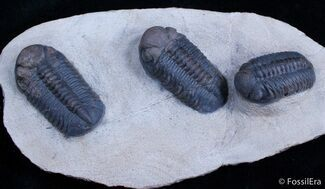 Buy Triple Phacops Trilobite Plate - Very Displayable - #2308