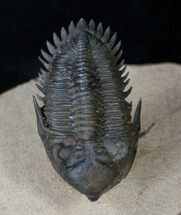 "Buy Superb Metacanthina (Asteropyge) Trilobite - 2.01"" - #14947"
