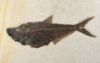 "Buy 18 1/4"" Diplomystus Fish Fossil - (FREE US SHIPPING) - #15124"