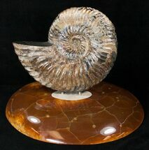 "5.7"" Russian Deshayesites Ammonite With Agate Base For Sale, #15590"