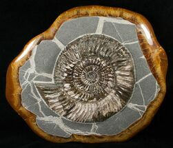 "Buy 9"" Russian Ammonite (Speetoniceras) - Decorative Agate Base - #15592"