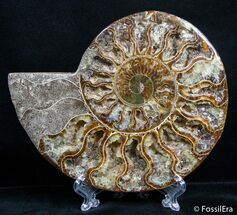 Cleoniceras - Fossils For Sale - #2610