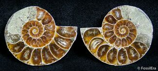 Cleoniceras - Fossils For Sale - #2664