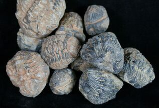 Mostly Phacops - Fossils For Sale - #16539
