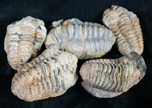 Bulk Calymene Trilobite Fossils - 10 Pack For Sale, #16541