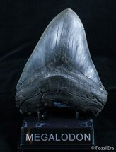 6+ Inch, Monster, Black Megalodon Tooth, Item #2917