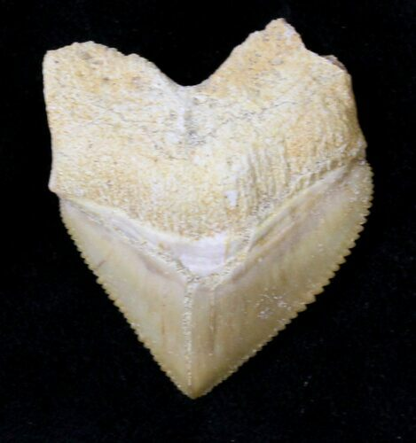 "1.36"" Squalicorax (Crow Shark) Fossil Tooth"