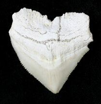Buy Nice Squalicorax (Crow Shark) Fossil Tooth - #19288