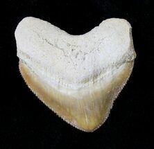 Buy Nice Squalicorax (Crow Shark) Fossil Tooth - #19291