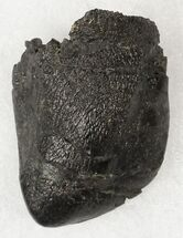 "1.3"" Camarasaurus Tooth Crown - Colorado For Sale, #19310"