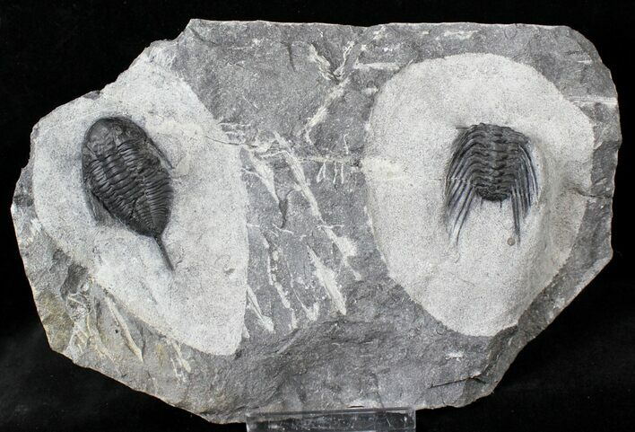 Mucronaspis & Selenopeltis Trilobites - Reduced Price