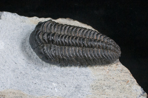 Preparation Sequence - Norwegian Pliomera Trilobite