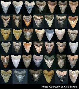 Megalodon teeth can exhibit a very wide range of colorations which are often very distinctive to the locality at which they are found.