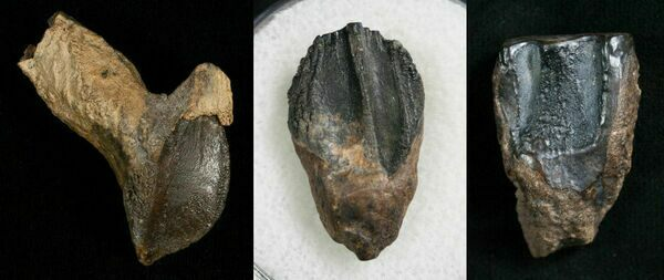 "Triceratops teeth showing varying degrees of wear.  Left: Unworn with root.  Center: Moderate wear.  Right: Heavily worn ""shed tooth"""