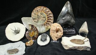 View Authentic Fossils For Sale