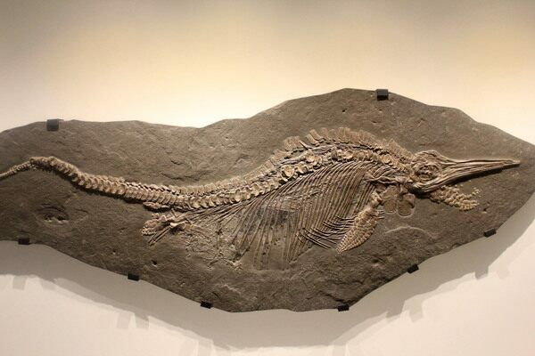 A fossil of Ichthyosaur Stenopterygius.  Creative Commons License