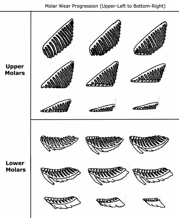 Diagram of upper and lower molars with progressive amounts of wear.