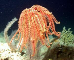 A modern day stalked crinoid in the Gulf of Mexico.  Photo from NOAA library.