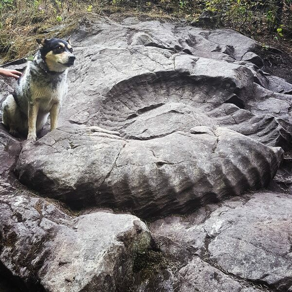 "The ""Fossil Truck Tire"" a 1.4m wide ammonite (Titanites occidentalis) near Fernie BC.  Photo from Red Tree Lodge"