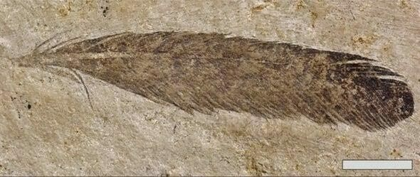 The feather originally described as Archaeopteryx is now known to be a dinosaur feather. Image Credit: Kaye et al 2019