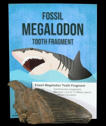 "Real Fossil Megalodon Partial Tooth - 3-4"" - Photo 1"