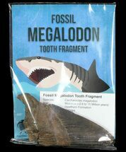 "Wholesale: Fossil Megalodon Partial Tooth (3-4"") - 10 Pieces"