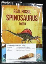 "Wholesale: 1-2"" Fossil Spinosaurus Teeth (Packaged) - 10 Pieces"