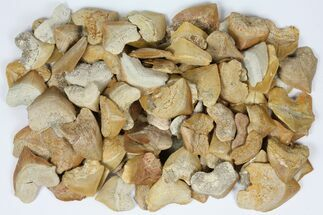 Wholesale Lot: Fossil Crow Shark (Squalicorax) Teeth - 100 Pieces
