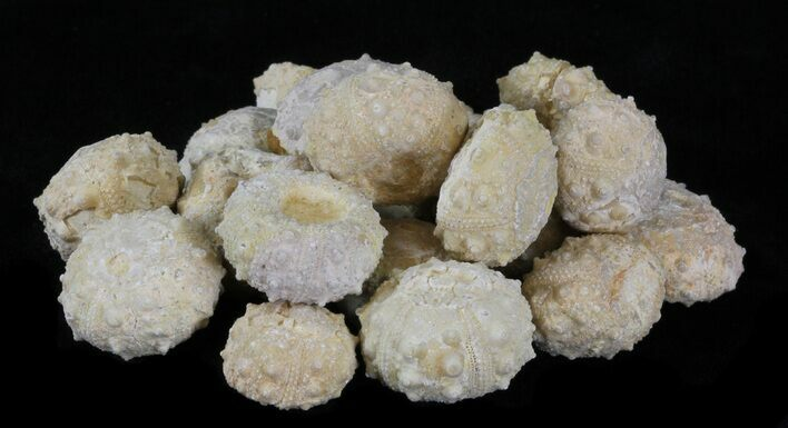 Small, Cretaceous, Sea Urchin (Goniopygus) Fossils  - Photo 1