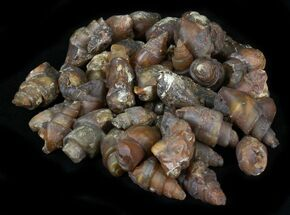 Bulk Agatized Fossil Gastropod - 10 Pack