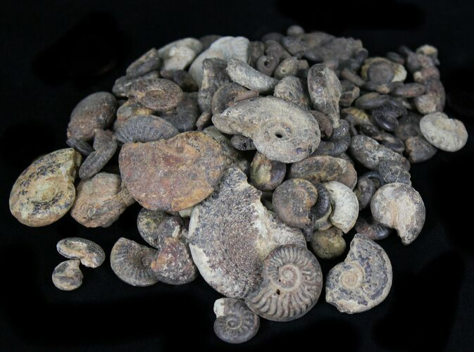 Small Pyritized Ammonite Fossils - 3oz (~25 pieces) - Photo 1