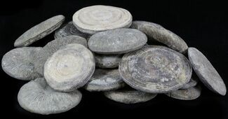 Bulk Coral (Cyclolites) Fossils- 10 Pack
