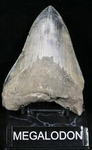 Carcharocles megalodon - Fossils For Sale - #22590