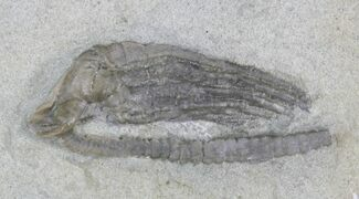 Histocrinus tunicatus - Fossils For Sale - #22776