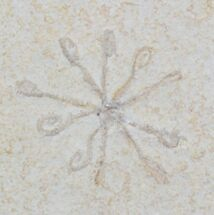 Floating Crinoid (Saccocoma) - Solnhofen Limestone For Sale, #22460