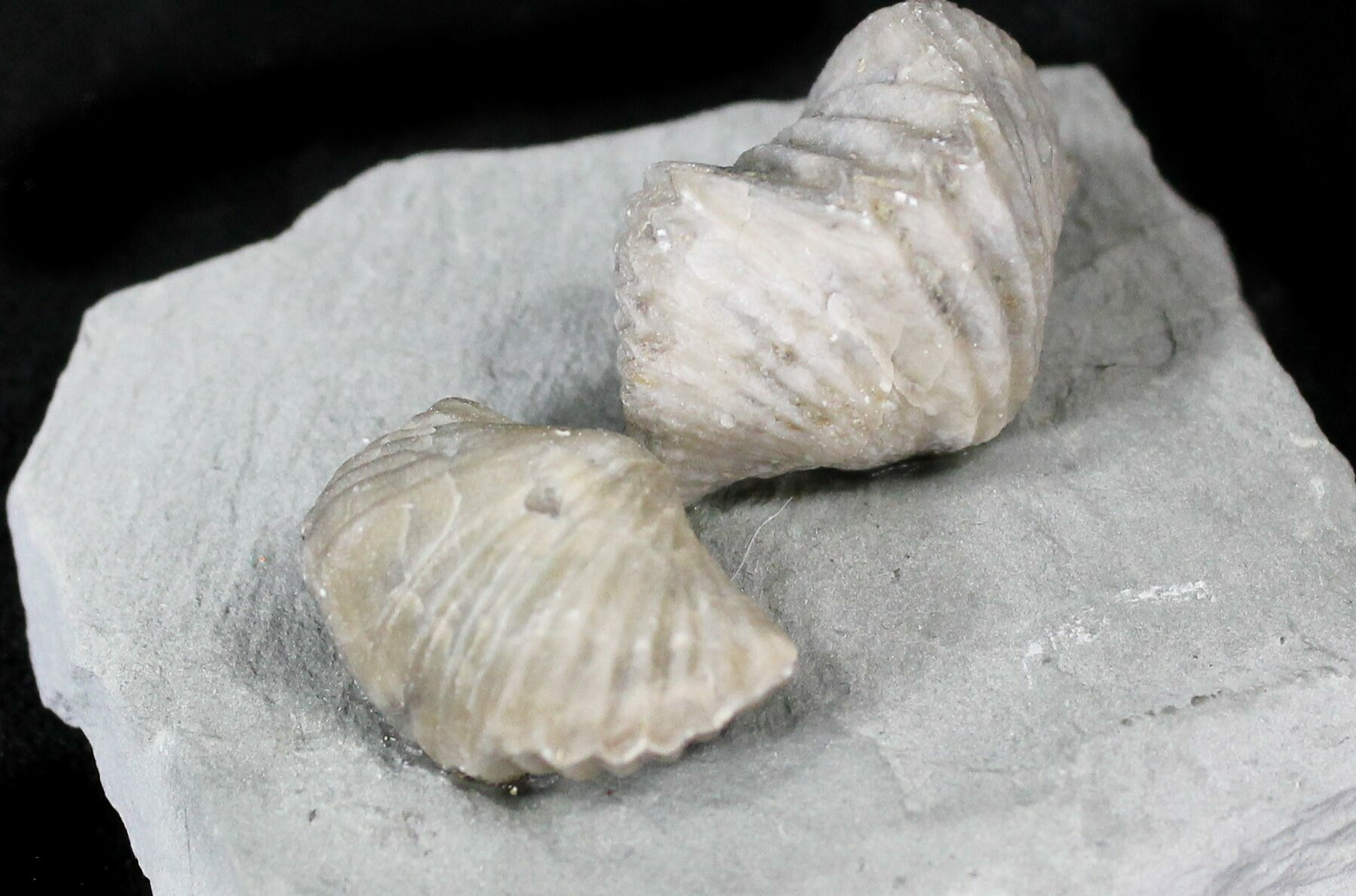Pair Of Fossil Brachiopods (Platystrophia) - Indiana For
