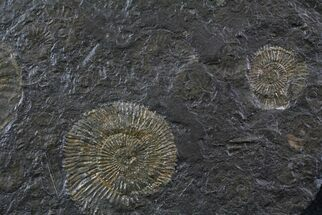 Dactylioceras - Fossils For Sale - #23172